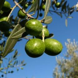 Olive_z03